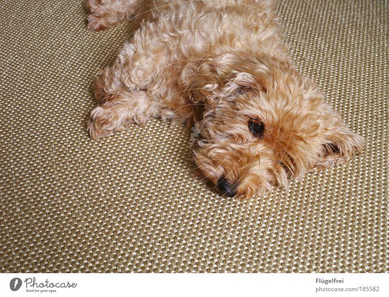 Fellknäuel auf Teppich Haustier Hund 1 Tier klein Dackel gemütlich Anpassung schlafen träumen harmonisch süß niedlich Erholung beige verträumt Boden