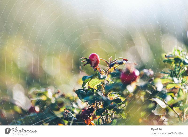 Kartoffel-Rose Natur Pflanze Sommer grün rot Blatt Tier Umwelt gelb Blüte Schönes Wetter Grünpflanze