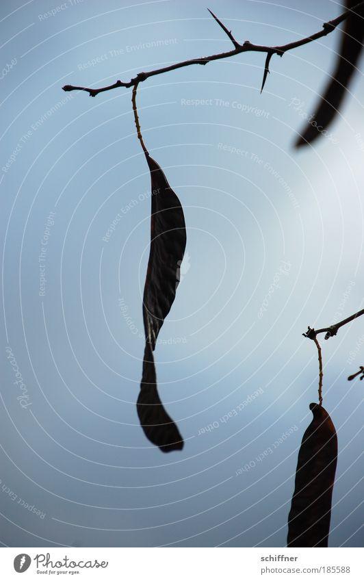 Affenbrotbaum Umwelt Natur Wolken Gewitterwolken Herbst hängen Blüte Baumfrucht Stachel Trauer Tod Traurigkeit Farbfoto Außenaufnahme