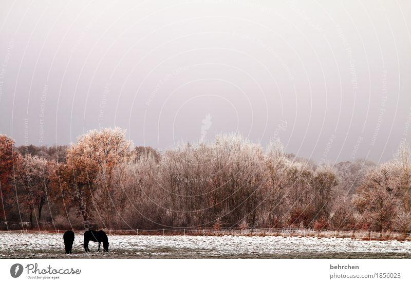 kälte Natur Landschaft Pflanze Tier Herbst Winter Eis Frost Schnee Baum Gras Sträucher Wiese Feld Wald Pferd 2 Fressen frieren kalt schön Weide Zaun erfrieren