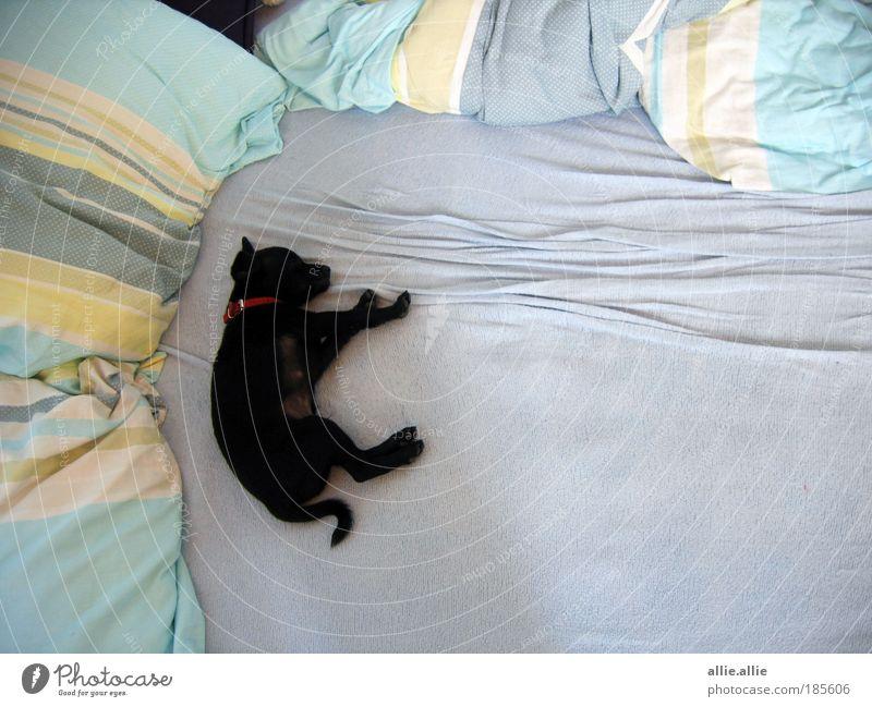 blau schön Hund Tier schwarz Erholung klein träumen Stimmung Tierjunges schlafen Dekoration & Verzierung niedlich weich berühren