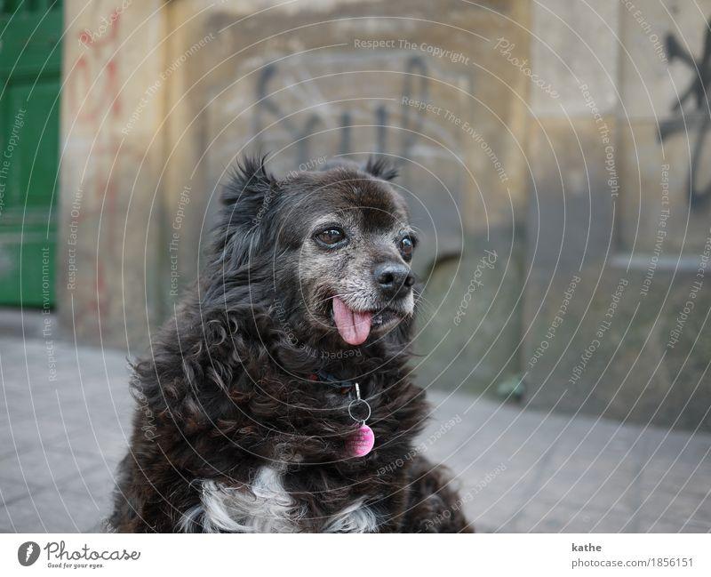 : P Tier Haustier Hund 1 alt sitzen träumen hässlich Stadt braun grau authentisch bescheiden Langeweile Trägheit Senior Zufriedenheit Erholung Farbfoto