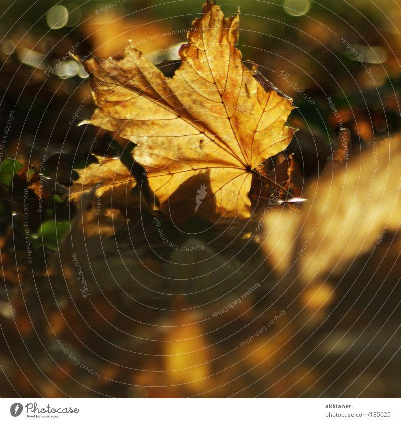 Herbstblatt Umwelt Natur Pflanze Erde Sonnenlicht Wetter Schönes Wetter Blatt Wildpflanze Park ästhetisch hell natürlich schön trocken braun gelb welk Farbfoto