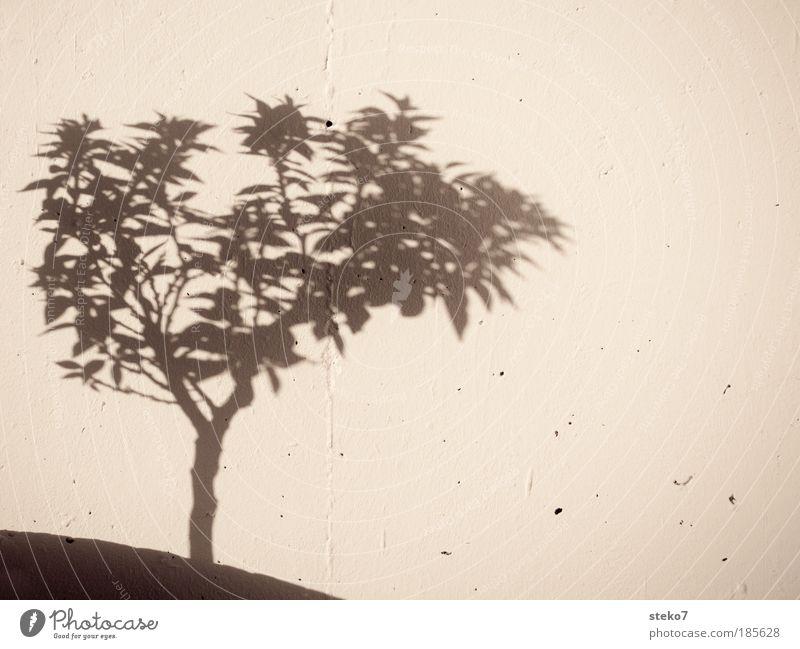 Schattengewächs Natur Pflanze Baum Mauer Wand Wachstum Orangenbaum einfach Schwarzweißfoto Schönes Wetter Wärme mediterran Silhouette