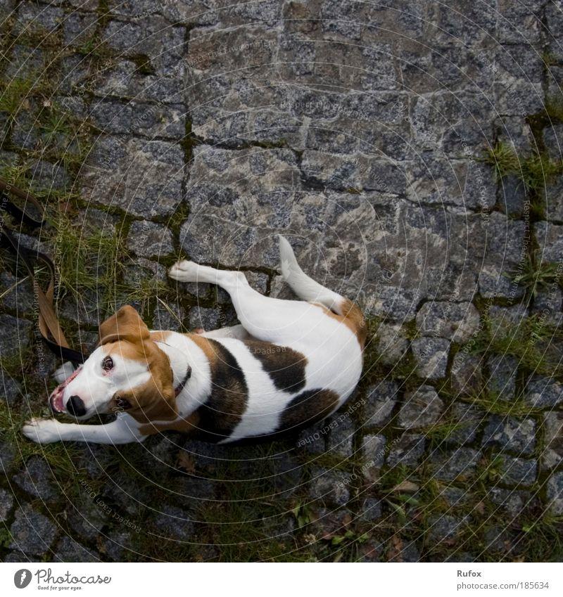 In aller Freundschaft - Kaya Hund Tier Spielen elegant liegen ästhetisch Sicherheit Suche Jagd Rettung Pflastersteine Luftaufnahme muskulös Pflasterweg Beagle Straßenhund
