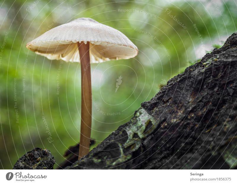 Einsamer Pilz Umwelt Natur Landschaft Pflanze Tier Herbst Baum Gras Moos Park Wald Wachstum leuchten Pilzkopf Pilzhut Pilzsucher Giftpflanze essbar Farbfoto