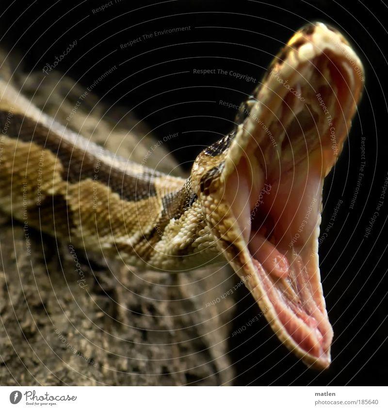 AAA-SAGEN Haut Mund Tier Schlange 1 Aggression bedrohlich exotisch nah Appetit & Hunger gefährlich gefräßig Langeweile dehnen Dehnübung Zahnreihe Kieferwinkel