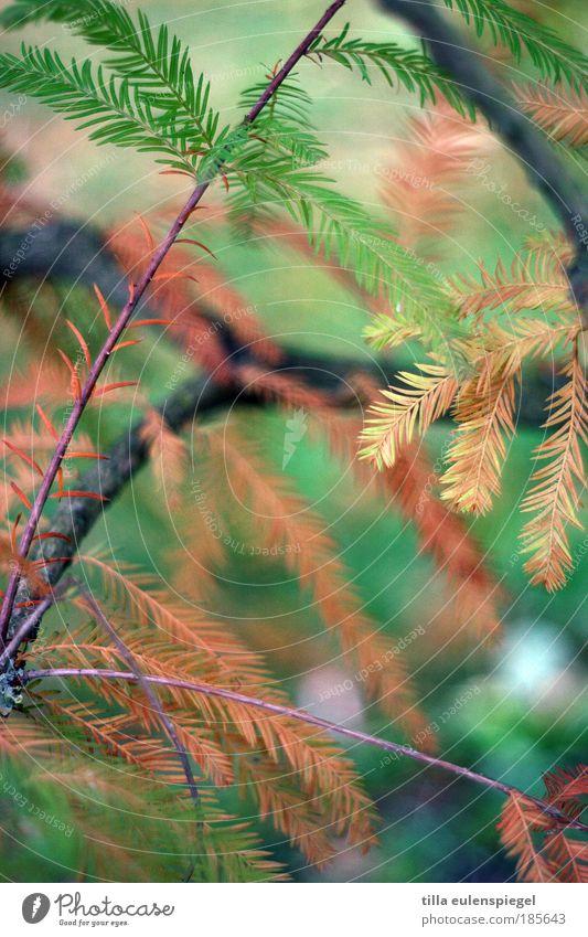 zedern Natur Baum grün rot Farbe Herbst Park braun Ausflug Vergänglichkeit wild natürlich exotisch verblüht färben