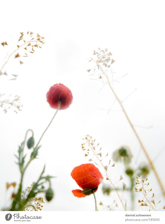 Hochkantsommer Pflanze Sonnenlicht Frühling Sommer Blüte Wiese ästhetisch hell rot weiß Natur Wachstum Blumenwiese Mohn Mohnblüte Gras Licht Froschperspektive