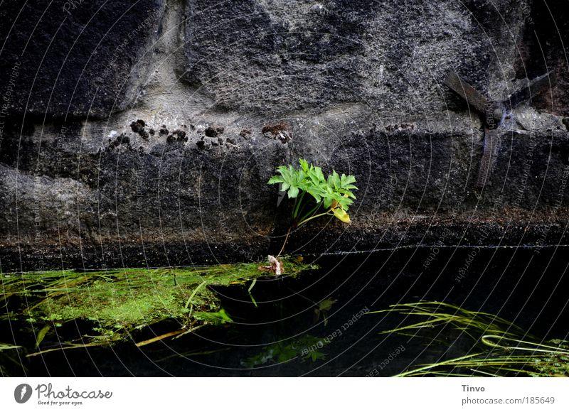 Verliesmeinnicht Natur alt grün Pflanze schwarz dunkel kalt träumen Stimmung nass Hoffnung Trauer Wachstum Fluss unten Flüssigkeit