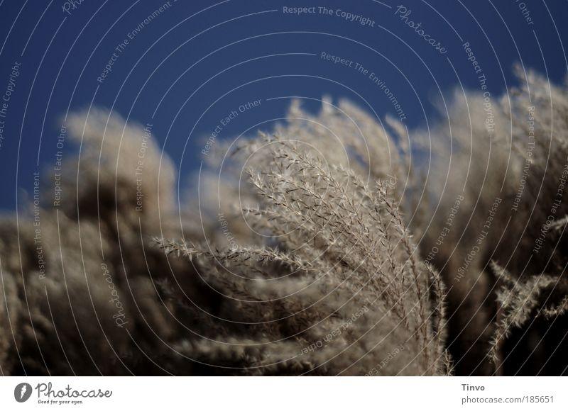 Ostwind Umwelt Natur Wolkenloser Himmel Herbst Wetter Schönes Wetter Wind Gras Sträucher Wildpflanze Park Wiese trocken wild weich blau windig Bewegung