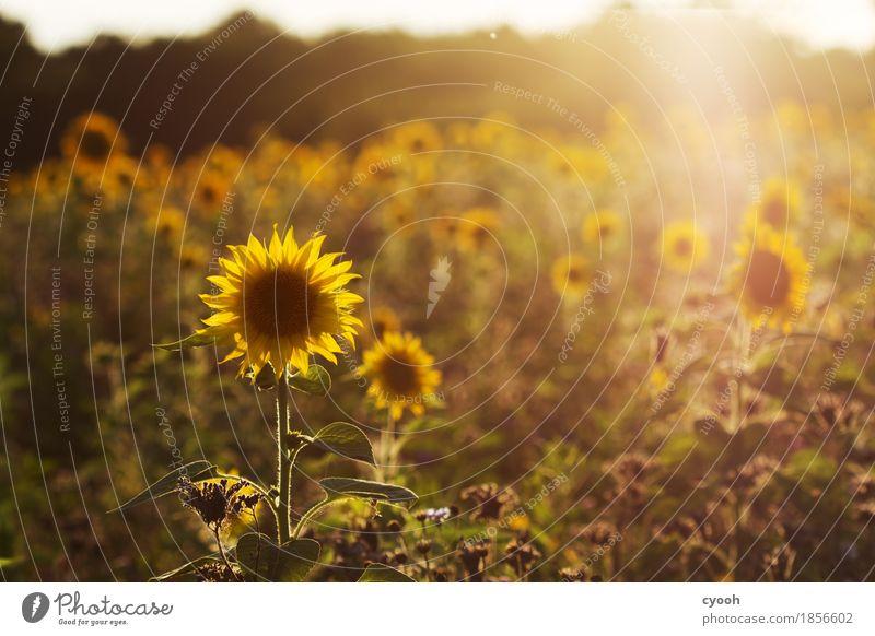 Sommererinnerung gegen Novembergrau! Natur Landschaft Blume Blüte Feld Freundlichkeit Fröhlichkeit rund Wärme gelb gold Zufriedenheit Lebensfreude Energie