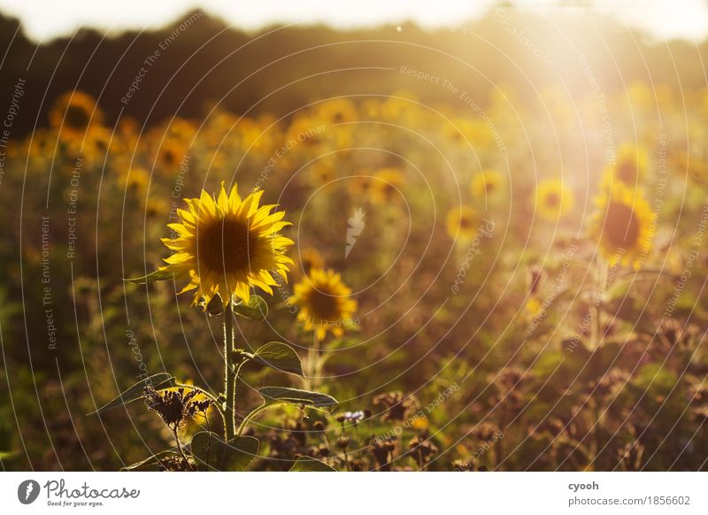 Sommererinnerung gegen Novembergrau! Natur Ferien & Urlaub & Reisen Farbe Blume Landschaft Erholung ruhig Wärme gelb Blüte Zeit Freiheit Stimmung