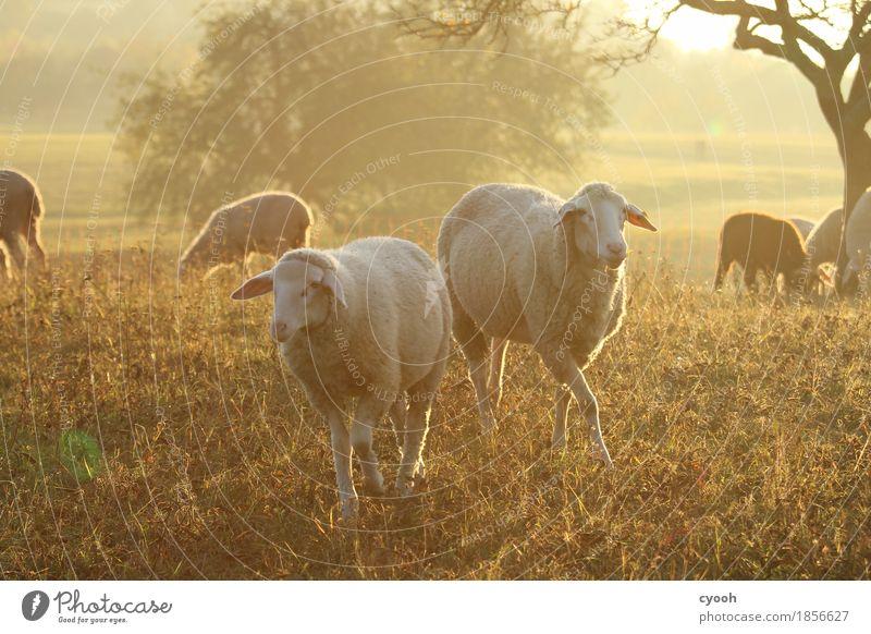 Schafidylle zu zweit Natur Landschaft Wiese Nutztier 2 Tier Tiergruppe Herde Fressen frei Glück weich Zufriedenheit Lebensfreude Erholung Freiheit Frieden