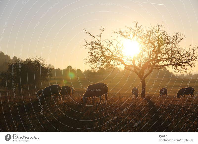 Schafidylle bei Sonnenuntergang Natur Landschaft Herbst Wiese Nutztier Herde Fressen leuchten dunkel frei Gesundheit Zusammensein nachhaltig natürlich weich