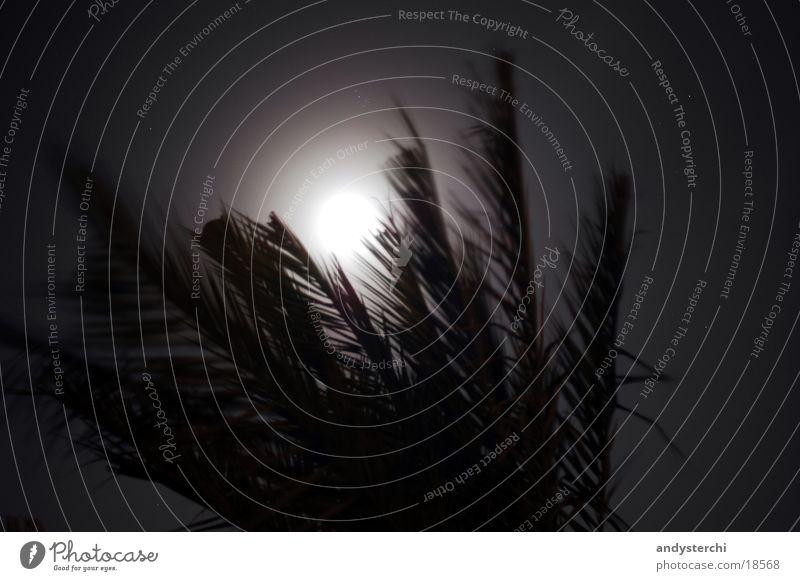 Moonlight Palme Licht Blatt Mond Lichterscheinung Silhouette