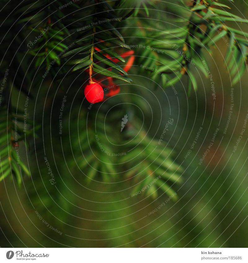 winterwärme_02 Natur Baum grün Pflanze rot Herbst Vorfreude Nadelbaum hängend Eibe