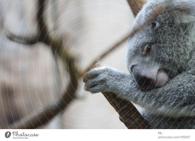 aschgrauer beutelbär Natur schön Baum ruhig Tier Erholung grau Landschaft Zufriedenheit Umwelt schlafen Sicherheit Tourismus weich Tiergesicht Schutz