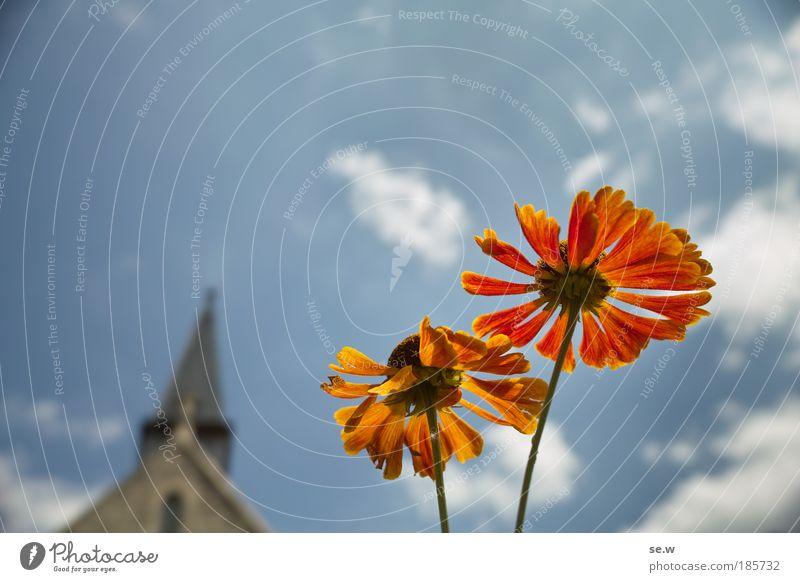 Verheißung Himmel Pflanze blau Sommer Blume Umwelt Wärme Blüte Glück Garten hell leuchten ästhetisch Kirche Blühend Lebensfreude