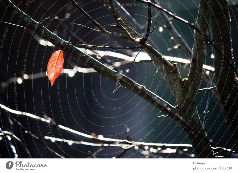 Einzelkämpfer Natur Pflanze Herbst Baum Sträucher kalt rot Stimmung Hoffnung Leichtigkeit Umwelt Vergänglichkeit Blatt Herbstlaub fallen Ast Überleben Tag