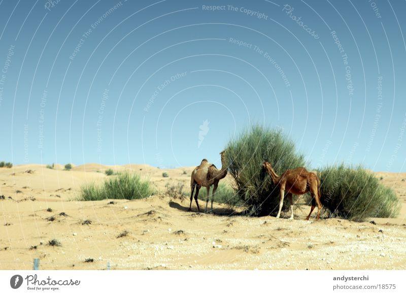 Rendez Vous Ernährung Sand Verkehr Sträucher Wüste Fressen Futter Dubai Kamel Naher und Mittlerer Osten Dromedar