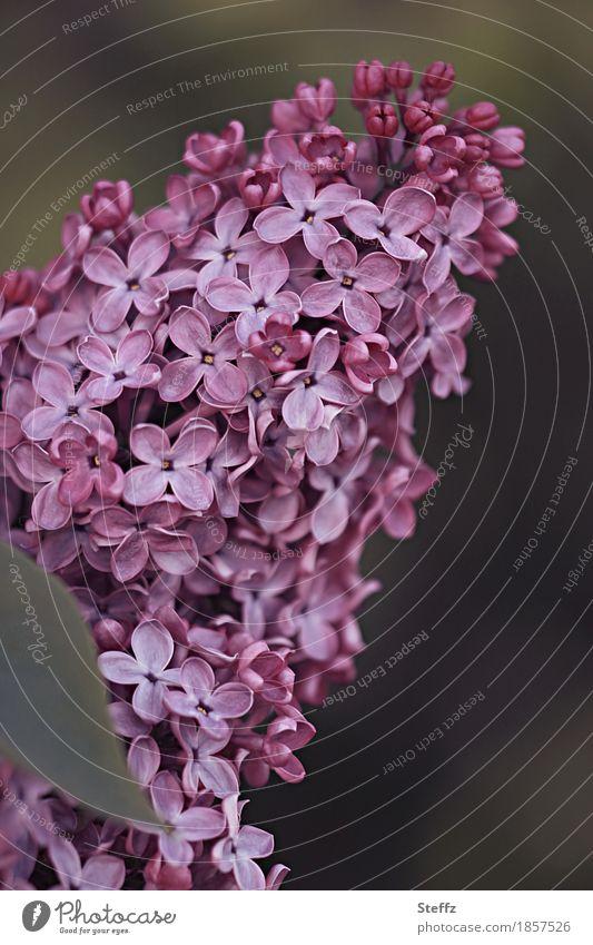 ein blühender und duftender Fliederstrauch Syringa Fliederblüten Fliederbusch Fliederduft Syringa vulgaris Frühlingserwachen Blütenblätter violette Blüten