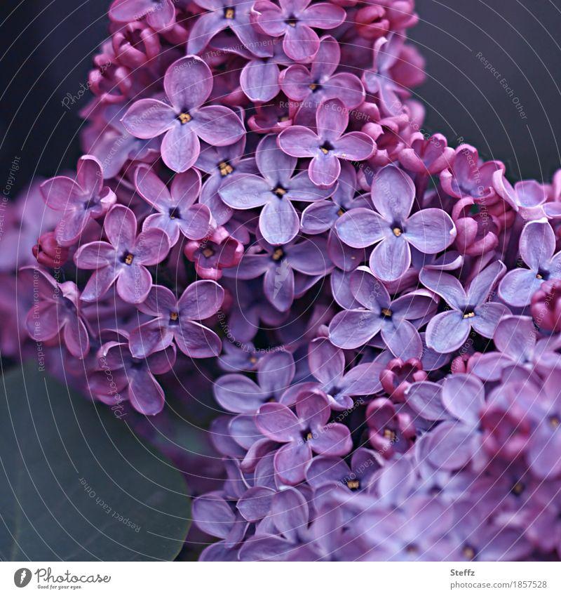 let it be spring Flieder Pflanze Frühling Blume Blüte Wildpflanze Fliederbusch Frühlingsblume Garten Park Blühend Duft natürlich schön violett Frühlingsgefühle