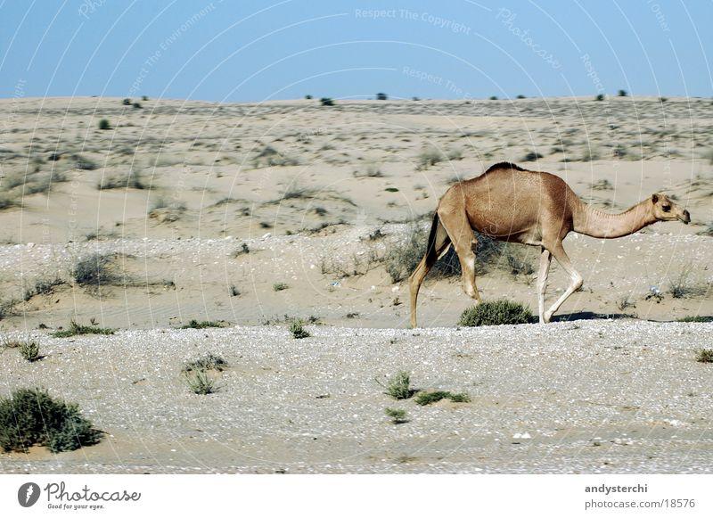 Freilaufendes Kamel Dromedar Dubai Tier heiß Verkehr Wildtier Wüste hatta Sand Stranddüne