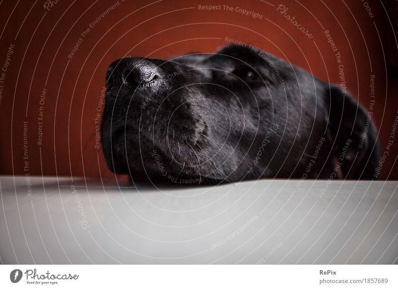 neugieriger Hund Sofa Tisch Zirkus Tier Haustier Tiergesicht Labrador Retriever 1 Liebe schlafen sitzen ästhetisch weich loyal Tierliebe friedlich achtsam