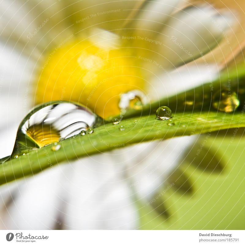 Träne eines Gänseblümchens Natur Pflanze grün Sommer weiß Blume Umwelt gelb Blüte Frühling Regen mehrere Wassertropfen einzigartig nass Tropfen