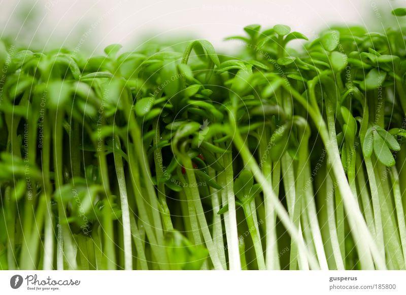 jazz ma cress grün Pflanze natürlich Lebensmittel Ernährung dünn lecker Bioprodukte Festessen Mittagessen Mahlzeit Büffet Brunch Fingerfood Asiatische Küche Geschäftsessen