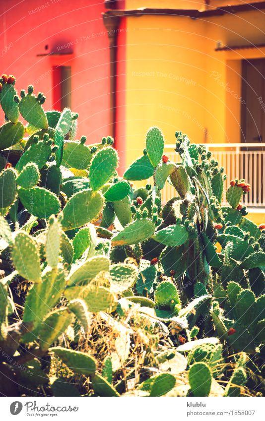 Kaktusfeigen (Opuntia ficus-indica) Frucht Vegetarische Ernährung exotisch Natur Pflanze Himmel Baum frisch natürlich saftig stachelig gelb grün rot Farbe