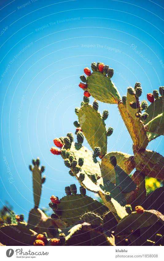 Kaktusfeigen (Opuntia ficus-indica) Frucht Vegetarische Ernährung exotisch Natur Pflanze Himmel frisch natürlich saftig stachelig gelb grün rot Farbe