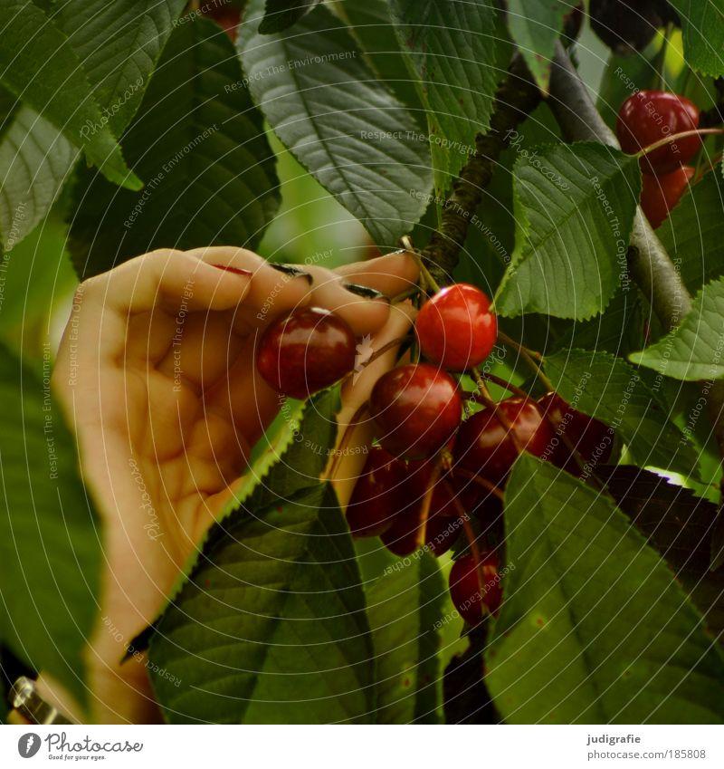 Kirschen pflücken Natur Hand grün Baum rot Sommer Blatt Ernährung Lebensmittel Garten Gesundheit Frucht natürlich süß Ernte lecker