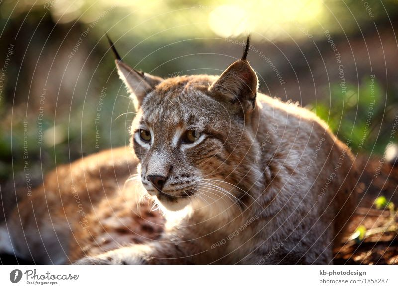 Male lynx in the forest Zoo Wildtier Luchs füttern hören animal animals beard hair big big cat booty brown caught eurasian fur mammal meadow protection strong