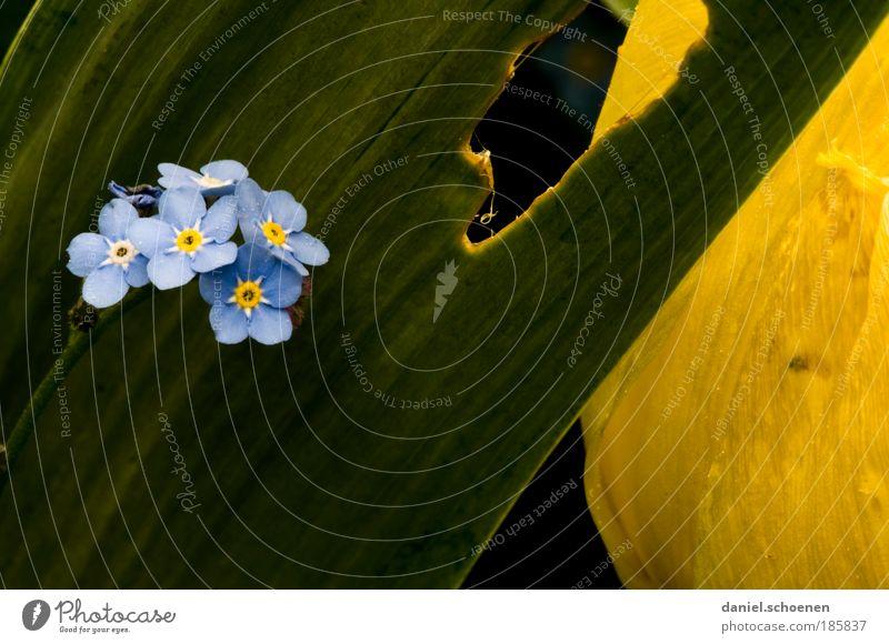 Sommervergissmeinnicht Pflanze Blume Blatt Blüte Freundlichkeit Fröhlichkeit blau gelb grün Natur Wachstum Makroaufnahme