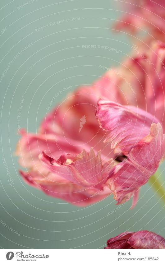 Die Tulpenzeit hat begonnen !! Blume Pflanze ruhig Farbe Stil Blüte rosa elegant Lifestyle ästhetisch Romantik authentisch Lebensfreude Blühend genießen Tulpe