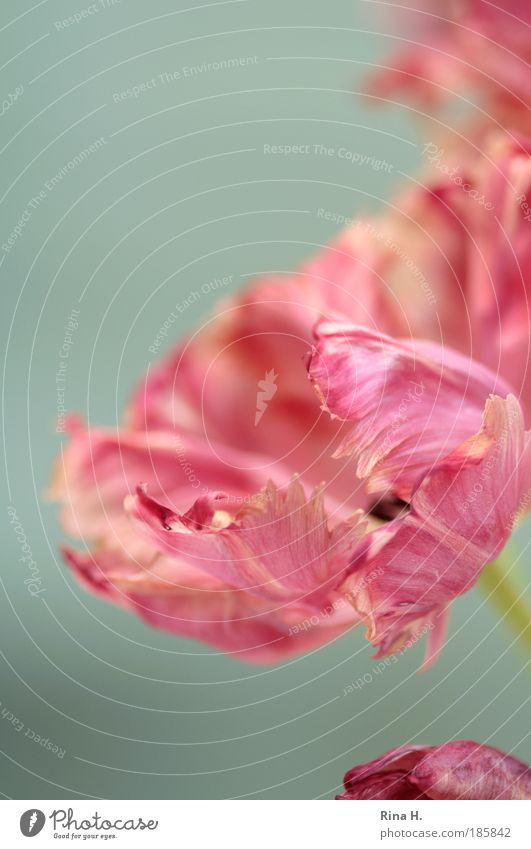 Die Tulpenzeit hat begonnen !! Lifestyle elegant Stil Pflanze Blüte Blühend ästhetisch authentisch rosa Lebensfreude Frühlingsgefühle Vorfreude Romantik Farbe