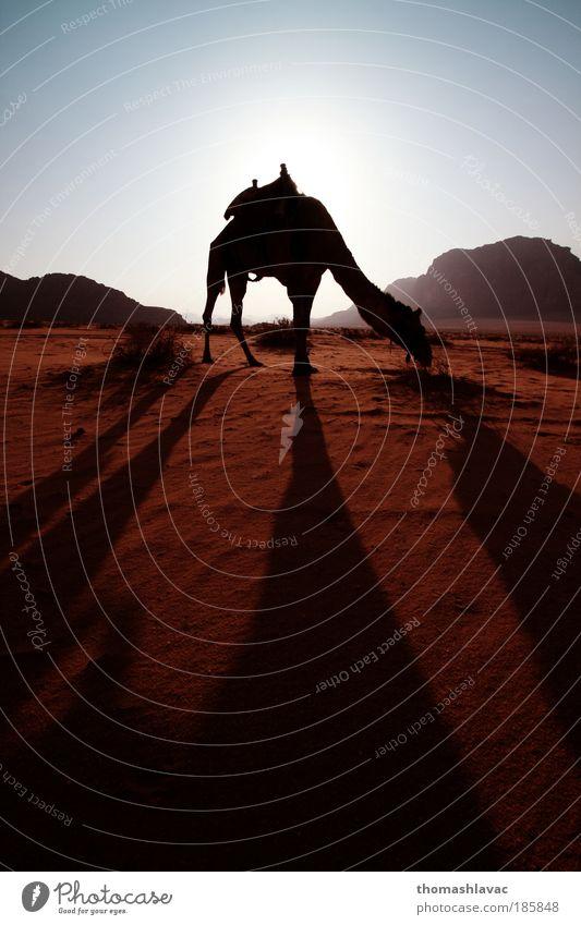Wüste Wadi Rum Umwelt Natur Landschaft Tier Sand Himmel Sonnenaufgang Sonnenuntergang Sonnenlicht Felsen Berge u. Gebirge Kamel 1 Ferien & Urlaub & Reisen