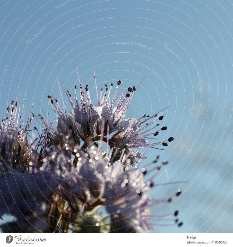 Phacelia mit Tautropfen Umwelt Natur Pflanze Herbst Schönes Wetter Blüte Nutzpflanze Feld Blühend glänzend Wachstum ästhetisch außergewöhnlich frisch schön
