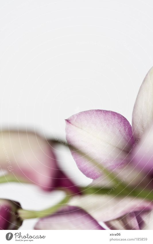 orchidee Blume Blüte ästhetisch zart sanft Orchidee