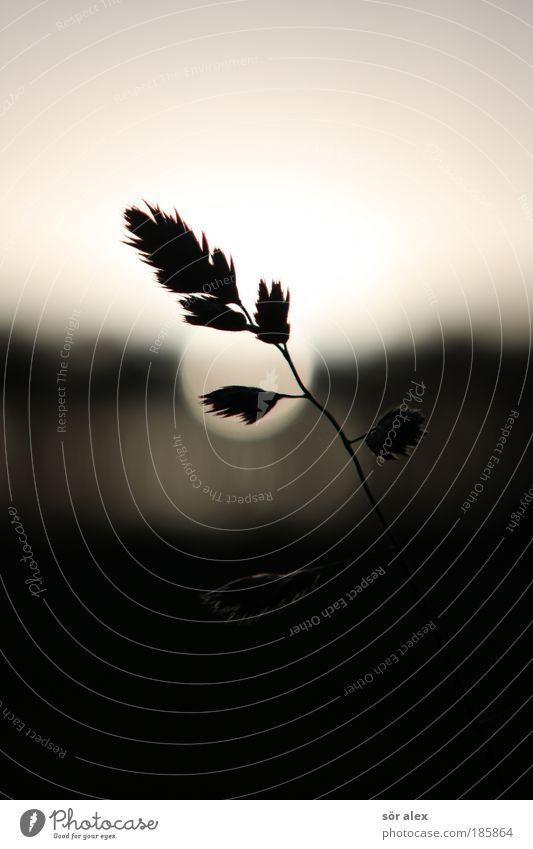 auftanken Pflanze weiß Sonne ruhig schwarz Leben Traurigkeit Gefühle Gras Tod Stimmung leuchten einfach weich Trauer Getreide