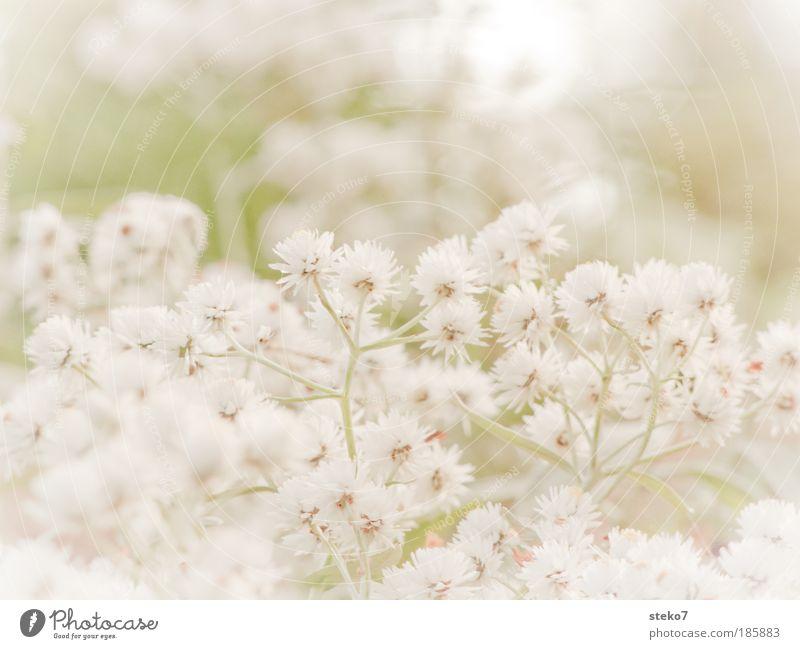 verblümt Landschaft Pflanze Herbst Blume Blüte Duft natürlich zart filigran weich lieblich Blütenstauden weiß abgewendet abweisend Wegsehen Makroaufnahme