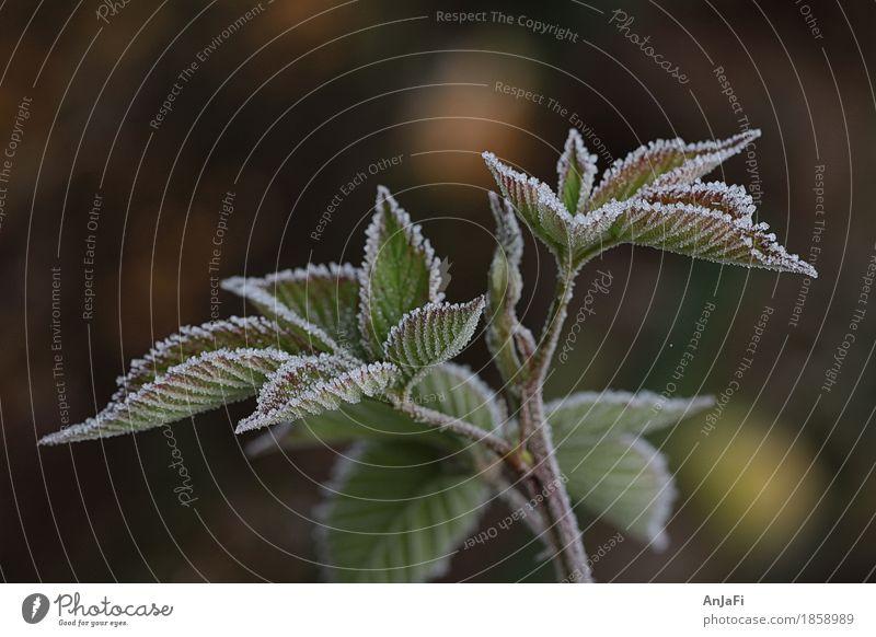gezuckerte Brombeerblätter Natur Pflanze Blatt Herbst Garten frisch Sträucher nah Nutzpflanze