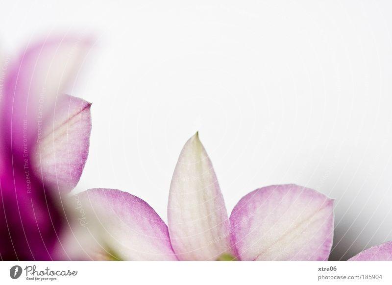 dendrobium Pflanze Blume Orchidee authentisch Blüte zart sanft Farbfoto Innenaufnahme Nahaufnahme Detailaufnahme Textfreiraum rechts Textfreiraum oben