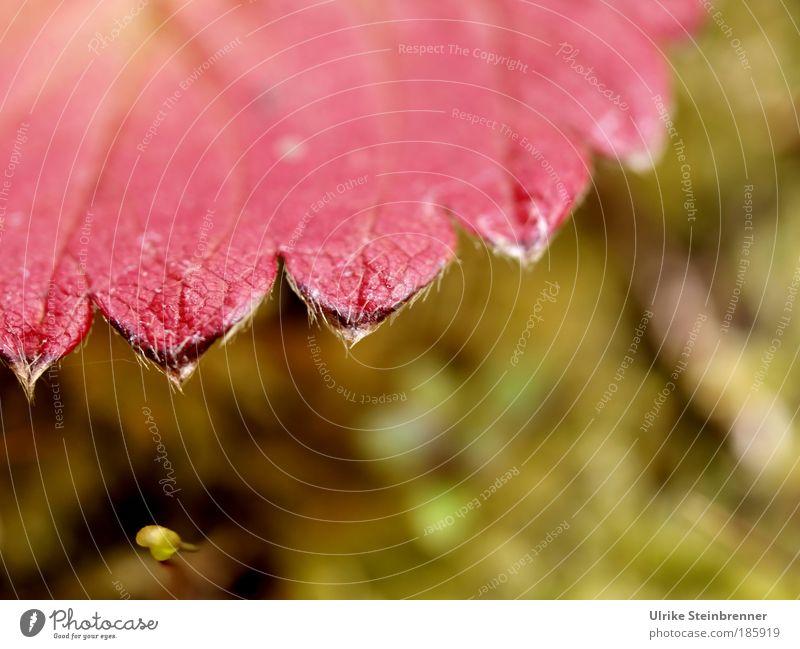 Happy Birthday, Photocase! Natur grün Pflanze rot Blatt Farbe Herbst Linie ästhetisch Ecke Vergänglichkeit einzigartig natürlich leuchten Erdbeeren Zacken