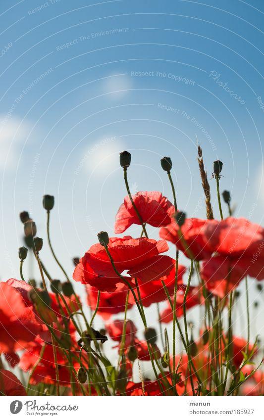 Happy Birthday, Photocase ! Mohn Natur Himmel rot Sommer Blüte Frühling Stauden Mohnblüte