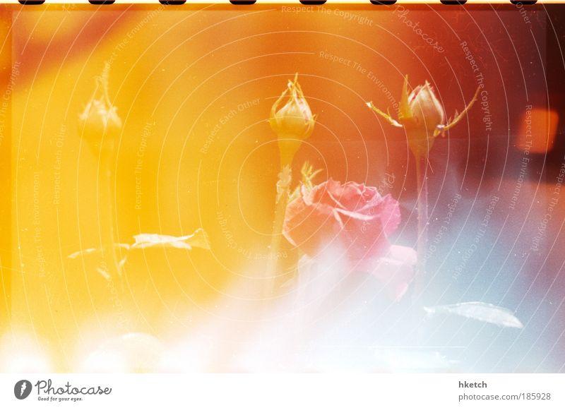 Happy Birthday, Photocase! Rose Glückwünsche Light leak