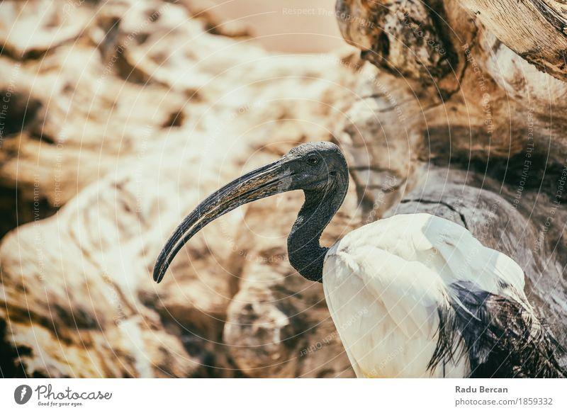 Wilder afrikanischer heiliger IBIS-Vogel Natur Tier Wildtier Tiergesicht 1 beobachten exotisch lang Neugier wild orange schwarz weiß Farbe Feder Ägypten Afrika