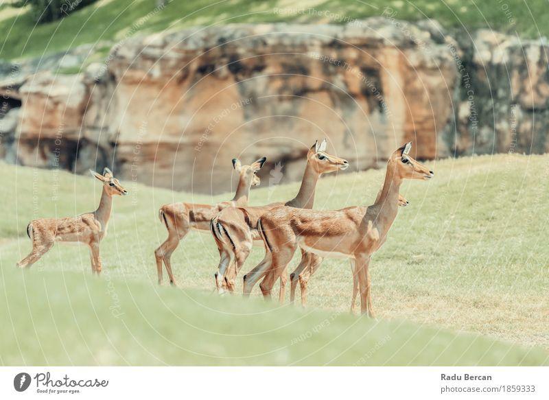Afrikanische Impala (Aepyceros Melampus) Antilope Safari Umwelt Natur Tier Wildtier 4 Tiergruppe Rudel Tierfamilie natürlich wild braun grün Antilopen Tierwelt